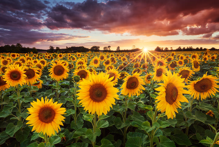 A field of sunflowers during a colorfull sunset