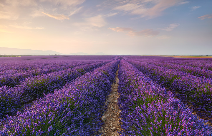 Purple Lavender fields during sunrise