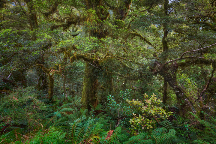 Temperate Rainforest in New Zealand