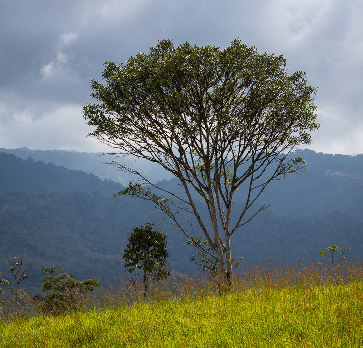 A lonely tree in Mindo cloud forest