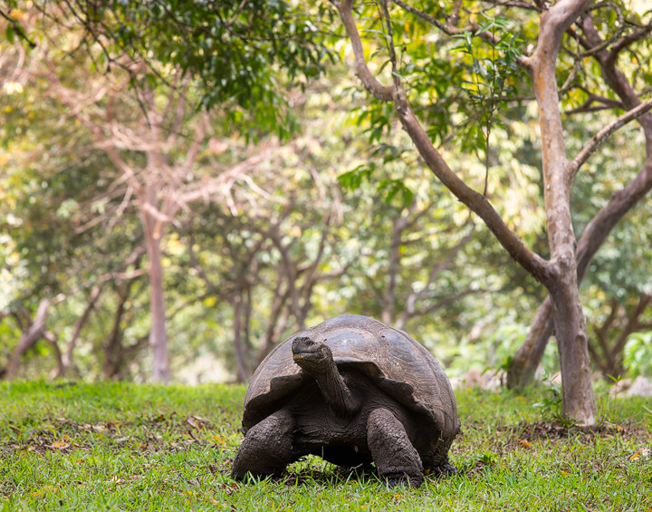 A huge Galapagos Turtle under trees