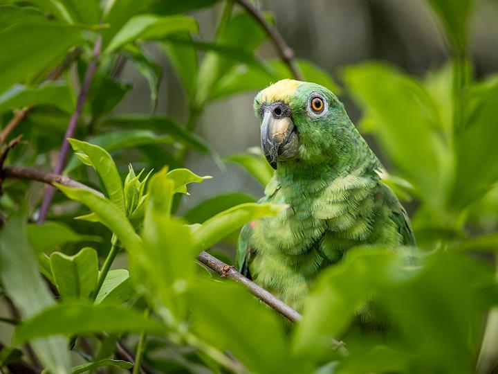 Little parrot lola at Corto Maltes