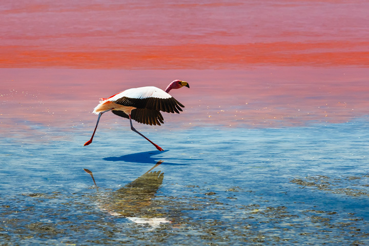 A flamingo takes of at Laguna Colorada in Bolivia