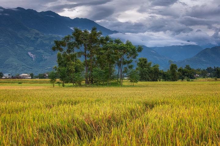 Rice fields in Yen Bai district of Vietnam
