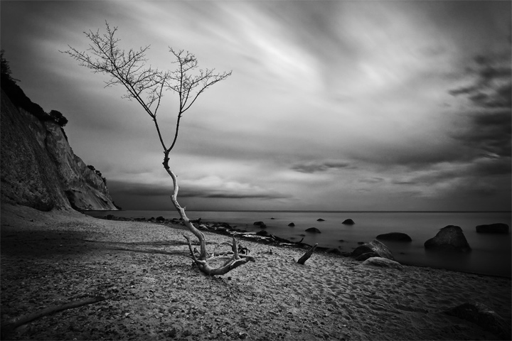 A lonely driftwood tree on the island of moen in denmark