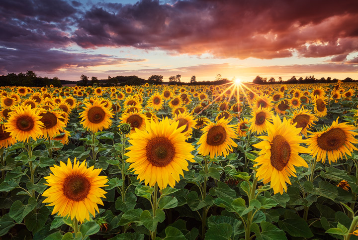 Landscape photo of a field of sunflowers during sunset.
