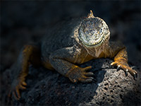A land Iguana on a dark rock on South Plaza island in the Galapagos Archipel